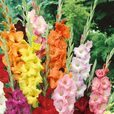 Gladioli Large Flowering Mixed 12cm+