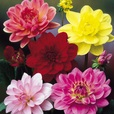 Dahlia Water Lily Mixed