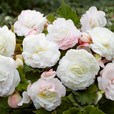 Begonia Superba (Mighty Mini) White