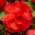 Begonia Mighty Mini Superba Red