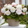 Begonia Mighty Mini Collection (Superba)