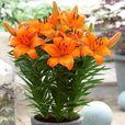 Lily Joy Collection (Dwarf Pot Lilies)