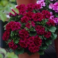 Geranium Aristo Mixed
