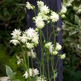 Aquilegia Barlow Collection