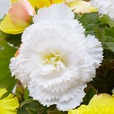 Begonia Fancy Frills Collection
