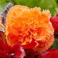 Begonia Fancy Frills Orange 3/4cm