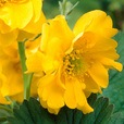 Geum Lady Stratheden (Power-Module)