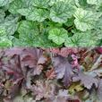 Heuchera Collection (Power-Module)