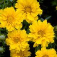 Coreopsis Early Sunshine (Power-Module)