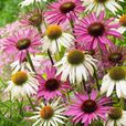 Echinacea purpurea Collection (Power-Module)