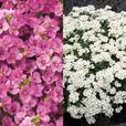 Arabis caucasia Collection