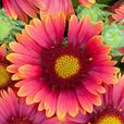Gaillardia Arizona Red (Power-Module)