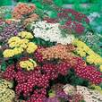 Achillea Collorado Mixed (Power-Module)