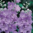 Giant Delphiniums Cameliard (Power-Module)