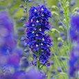 Giant Delphiniums King Arthur (Power-Module)