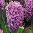 Hyacinth Purple Voice 14/15cm