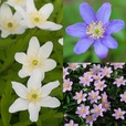 Anemone Nemorosa Collection