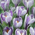 Crocus Large Flowering Collection