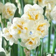 Narcissi Fragrant Poeticus Collection