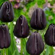 Tulip Queen Of Night 11/12cm