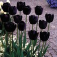 Tulip Queen Of Night 10/11cm
