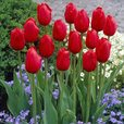 Tulip Single Late Collection