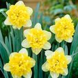 Narcissi Full House