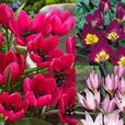 Tulip Humilis Collection