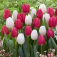Tulip White Marvel