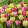 Tulip Foxtrot Collection
