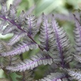Fern Collection (Athyrium)