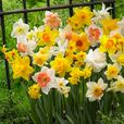 Daffodil Mixtures Collection