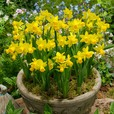 Narcissi Tete-a-Tete Collection