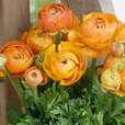 Ranunculus Tomer Deep Orange
