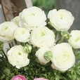 Ranunculus Dwarf Tomer Collection