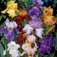 Iris germanica Mixed (Bearded Iris)