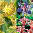 Tricyrtis Collection