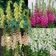 Digitalis (Foxgloves) Collection