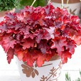 Heuchera Collection
