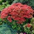 Sedum Autumn Joy (Herbstfreude)