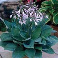 Hosta Popular Collection