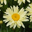 Leucanthemum Banana Cream (5cm Modules)