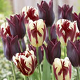 Tulip Perfect Partner Collection