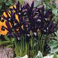 Dwarf Iris Reticulata Collection