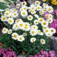 Aster Alpinus White Wonder