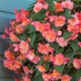 Begonia Fragrant Sweet Spice Bounty