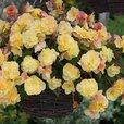 Begonia Fragrant Sweet Spice Collection