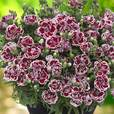 Dianthus Sunflor Supercolour Collection