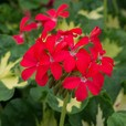Geranium Pelgardini Fanciful Foliage Collection