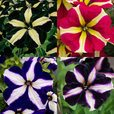 Petunia Premium Star Mixed